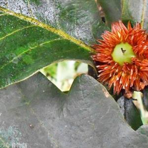初秋 カシワに萌え葉