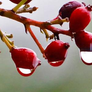 赤い果実に光る雨粒