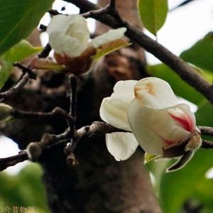 季節外れの開花 コブシ