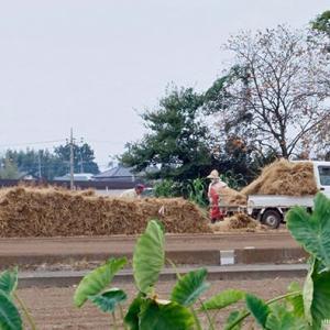 干瓢特産地 稲わらを畑に積む