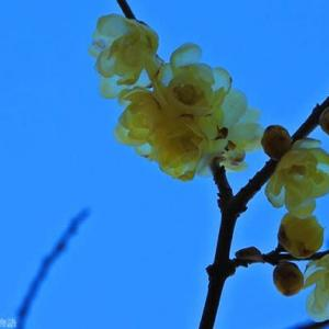 ロウバイ 透ける黄