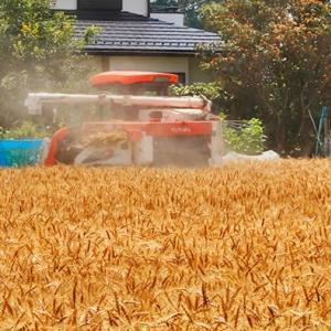 ビワ熟す頃 小麦刈り