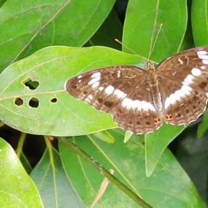 夏の昼間 身近に飛ぶ蝶