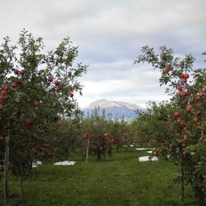 紅玉の収穫
