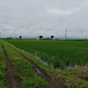 田圃の水を落水・・・中干し