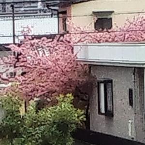 お向かいの桜は満開です