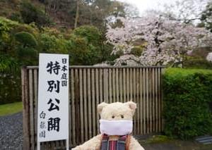 来春のために…ミモロの京さくらリポート。鞍馬二ノ瀬の「白龍園」