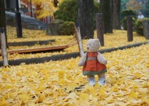 ミモロの紅葉散歩。京都大学から吉田神社、宗像神社へ。イチョウの黄金色の絨毯に感激
