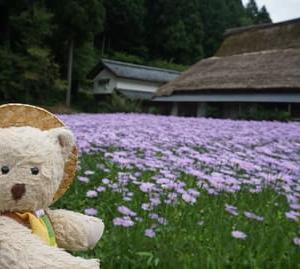 北山友禅菊が見ごろ里山「久多」。本日左京区役所で特産物販売の「左京キラリ市」を開催