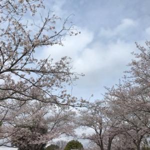 ウォーキング花見で今年の桜を見納めと思いきや、昨日一昨日も桜満開を楽しめています。