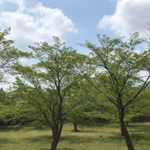 桜の木とツツジ