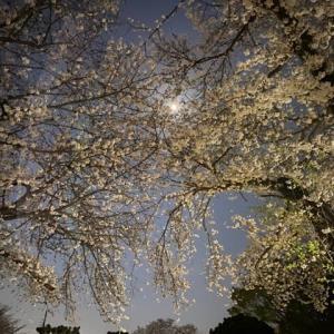 お散歩花見@夜桜