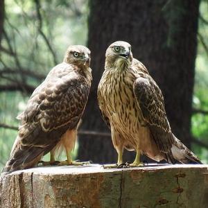 オオタカ (12) ~ 若鳥3兄弟 (2)