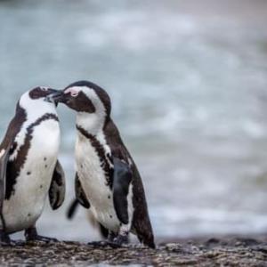 「ゲイカップルのペンギン一心に卵を抱く」No.