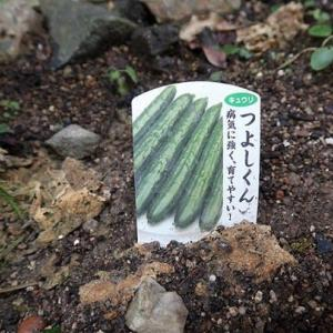 「我が庭の胡瓜、熱中症でほぼ死す」No.3953