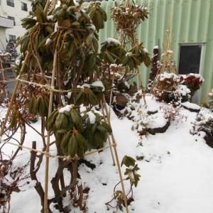 ついに 雪がきました 庭はご覧の様に 白くって……