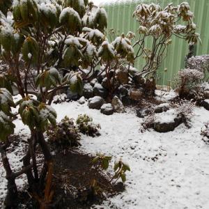 寒い筈です今朝の庭 驚きです 雪景色です