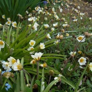 小さな花の 「チョウノスケ」です 可愛いでしょう…