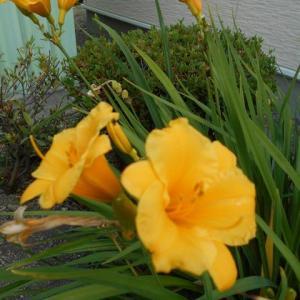 一日花の「ニッコウキスゲ」が見事に咲いてます…