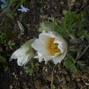 今年も忘れずに「翁草」が 咲きだしました……