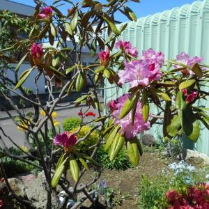 あなた 「石楠花」見事でしょう……とっても素敵です……