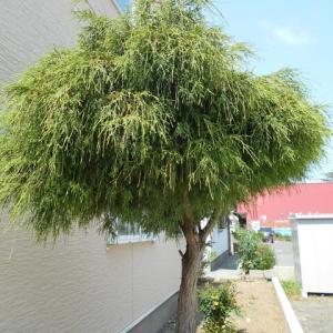 スズメが 巣立った後の「糸ヒバ」の木です 少し淋し気な……