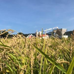 稲刈りラストスパート