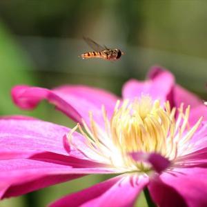 今日は庭のミツバチ