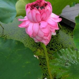古代蓮の里で千弁蓮が咲いていました~♪