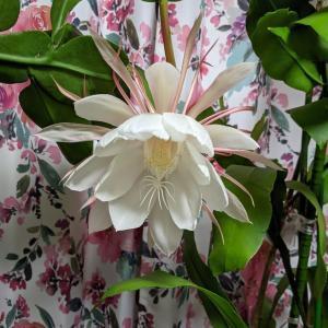 月下美人は2月、3月、7月と咲きましたが、蕾が8個出てきました