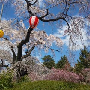榴ヶ岡公園でお花見