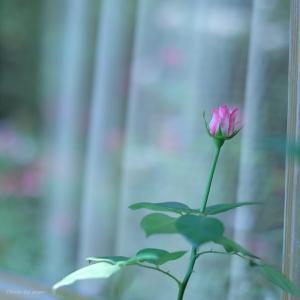 薔薇のひと