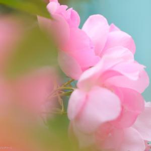 令和カメテク向上倶楽部♯02『バラをフェアリーに』