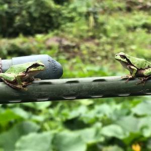 一本橋で蛙が出会うと