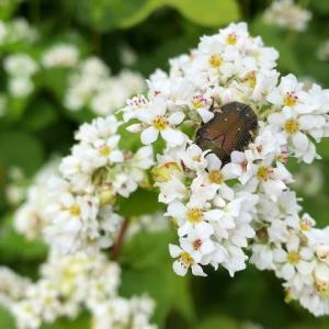 蕎麦の花にハナムグリ