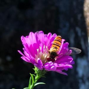 お供えの花にホソヒラタアブ