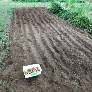ジャガイモの掘り残し