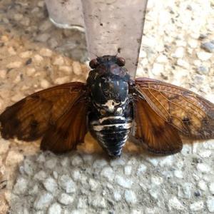透けていない翅の蝉