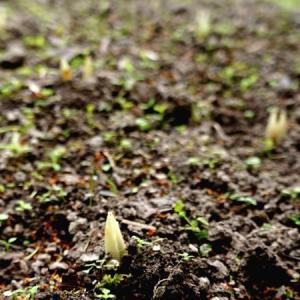 サフランの芽、コリアンダーとカモミール✽弱った胃腸にチゲを召しませ