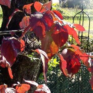 ハナミズキ紅葉&ヤマボウシの実✽サフランの葉がでました。