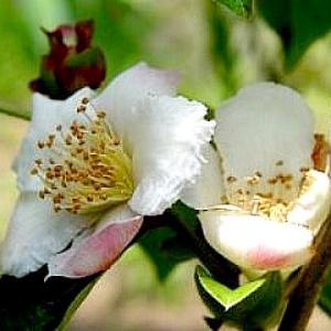 沙羅双樹の花の色…シャラノキ ✽ 人もPCも早めの対処が大事です(*^-^*)