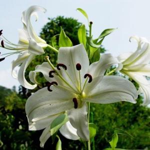 夏の花…カサブランカとヤマユリ ✽ ありあわせ材料でズッキーニボート