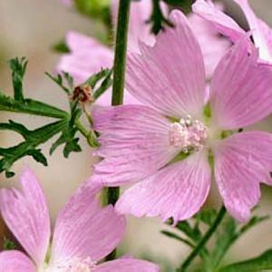 マロウの花…ムスク&マーシュ ✽ マシュマロで作るフローズンヨーグルト