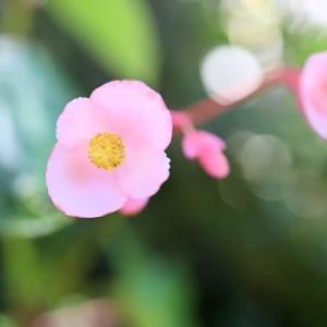 庭の秋海棠ピーマンを撮って遊んだ