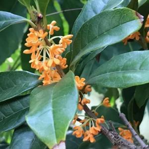 金木犀の開花