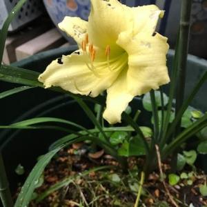 庭の花 四季咲きデイリリー黄金の星