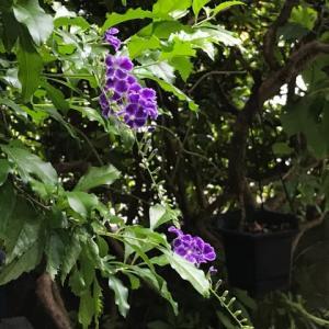 庭の花  【 デュランタ が開花 】