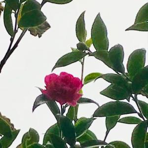 山茶花の花が咲いていました