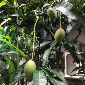 鉢植えのマンゴー発見♪