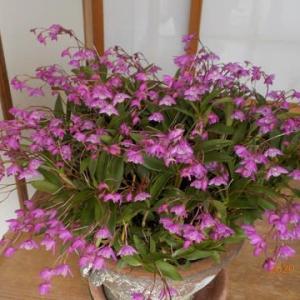 ギンギアナム 今年は花も多くもう満開です